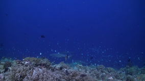 Tiburones del filón de Whitetip en un arrecife de coral colorido metrajes