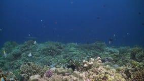 Tiburones del filón de Whitetip en un arrecife de coral colorido almacen de metraje de vídeo