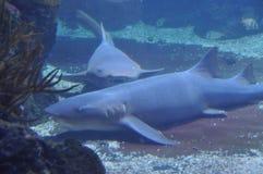 Tiburones dentudos Imágenes de archivo libres de regalías