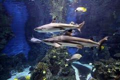 Tiburones en acuario Foto de archivo libre de regalías