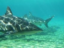 Tiburones en el bajo Imágenes de archivo libres de regalías