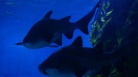 Tiburones que nadan en agua del acuario Dos tiburones enormes que nadan cerca de roca y de alga marina en agua azul Submarino mar metrajes