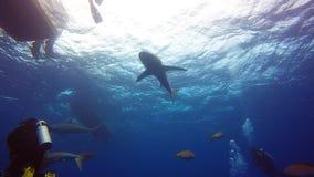 Tiburones sedosos en Jardin de la Reina, Cuba metrajes