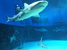 Tiburones y tiburones Fotografía de archivo libre de regalías