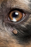 Tick attached next to an Australian Shepherd's eye Stock Image