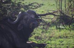 Tick Birds verde sulla Buffalo del capo Fotografia Stock Libera da Diritti