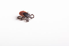 Tick - carrier of various diseases. Tick - parasitic arachnid blood-sucking carrier of various diseases royalty free stock image