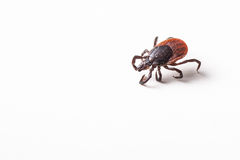 Tick - carrier of various diseases. Tick - parasitic arachnid blood-sucking carrier of various diseases royalty free stock photography