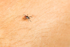 Tick - carrier of various diseases. Tick - parasitic arachnid blood-sucking carrier of various diseases royalty free stock photo