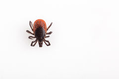 Tick - carrier of various diseases. Tick - parasitic arachnid blood-sucking carrier of various diseases stock photo