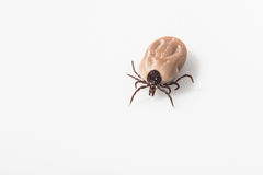 Tick - carrier of various diseases Royalty Free Stock Photography