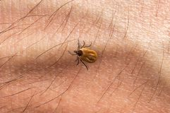 Tick is crawling on human body. Skin Royalty Free Stock Photos