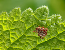 Tick crawling on leaf Royalty Free Stock Photos