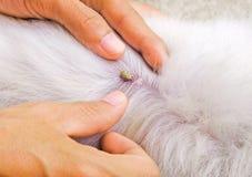 Tick on dog back royalty free stock image