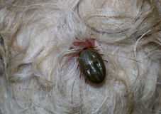 Tick on dog skin Royalty Free Stock Image