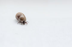Tick after drank blood. Royalty Free Stock Images