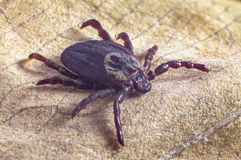 Tick on dry leaf Royalty Free Stock Images