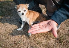 The tick engorged with blood moves on the man hand close up, swollen tick stirs in the palm of a man removed from the. Dog. The dog looks and shivers from the stock photo