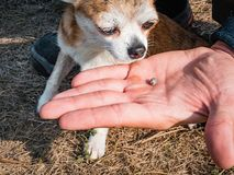 The tick engorged with blood moves on the man hand close up, swollen tick stirs in the palm of a man removed from the. Dog. The dog sniffs a tick that has been royalty free stock image