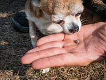 The tick engorged with blood moves on the man hand close up, swollen tick stirs in the palm of a man removed from the. Dog. The dog sniffs a tick that has been royalty free stock photo