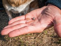 The tick engorged with blood moves on the man hand close up, swollen tick stirs in the palm of a man removed from the. Dog. The dog is trembling from the stress stock photo