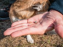 The tick engorged with blood moves on the man hand close up, swollen tick stirs in the palm of a man removed from the. Dog. The dog is trembling from the stress stock images