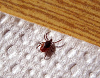Tick - European tick - IXODES RICINUS Royalty Free Stock Photography