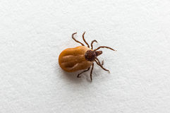 Tick filled with blood crawling on white paper. Close-up of tick filled with blood crawling on white paper Royalty Free Stock Images