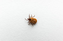 Tick filled with blood crawling on white paper. Close-up of tick filled with blood crawling on white paper Stock Photography