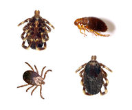 Tick Flea. Tick and flea dead isolated