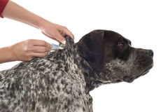 Tick and flea prevention. For a purebred german pointer dog royalty free stock photos