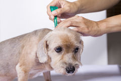 Tick and flea prevention for a dog Royalty Free Stock Photo