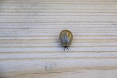 A tick with head and legs royalty free stock image
