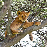 Tick Infested Lion Cub. Up a tree in Serengeti National Park, Tanzania Stock Photo