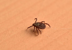 Tick insect Royalty Free Stock Images