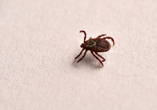 Tick insect Royalty Free Stock Photography