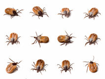Tick (Ixodes ricinus) close up Stock Image