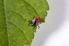 Tick on a leaf Royalty Free Stock Photography