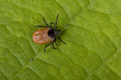 Tick on leaf Stock Photo