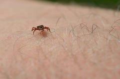 Tick on mans arm Stock Image