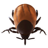 A tick. Medically accurate illustration of a tick Royalty Free Stock Photos