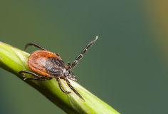 Tick on a plant straw Stock Photography