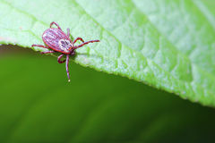The tick waiting on a green leaf in the forest Stock Image
