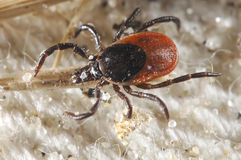 Tick waiting for a host Stock Image