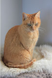 Ticked Ginger Abyssinian female cat Royalty Free Stock Photography