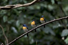 Tickell's Blue Flycatcher Royalty Free Stock Photos