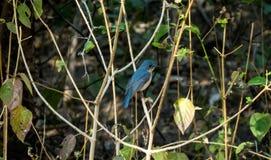 Tickell ` s蓝色捕蝇器鸟在印多尔,印度附近的一个森林里 免版税图库摄影