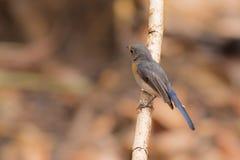 Tickell` s Blauwe Vliegenvanger Royalty-vrije Stock Foto