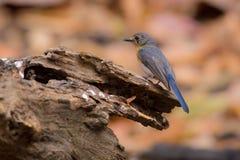 Tickell` s Blauwe Vliegenvanger Stock Afbeelding