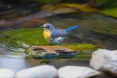 Tickell` s Blauwe Vliegenvanger Stock Fotografie